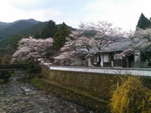 2012秋月の桜