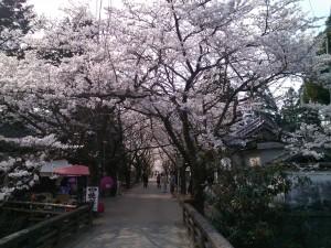 秋月杉ノ馬場の桜