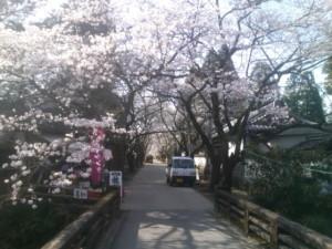 杉ノ馬場の桜